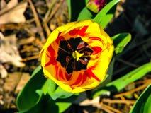 Tulipán amarillo-rojo hermoso en el día soleado - detalle en la flor imagen de archivo libre de regalías
