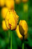 tulipán amarillo Rojo-pelado Fotos de archivo libres de regalías