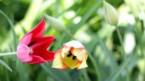 Tulipán amarillo y rojo almacen de video