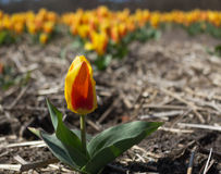 Tulipán amarillo y rojo en campo Fotografía de archivo libre de regalías