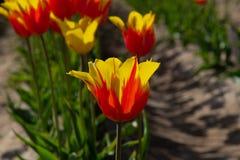 Tulipán amarillo y rojo en la plena floración Foto de archivo libre de regalías