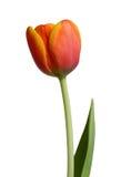 Tulipán anaranjado Fotografía de archivo libre de regalías