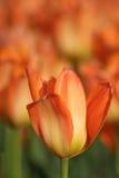 Tulipán anaranjado Imagen de archivo libre de regalías