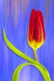 tulipán anaranjado Foto de archivo