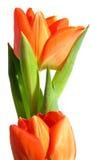 Tulipán anaranjado Foto de archivo libre de regalías