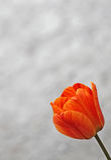 Tulipán anaranjado en la floración en primavera temprana Fotos de archivo