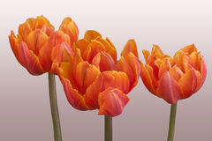 Tulipán anaranjado - princesa Irene del grado Imagen de archivo