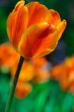 Tulipán anaranjado y amarillo Fotos de archivo libres de regalías