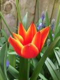 Tulipán ardiente en jardín Foto de archivo