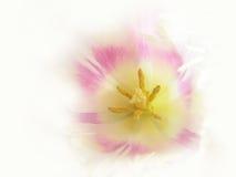 Tulipán artístico (Tulipa) (33), macro Imagen de archivo
