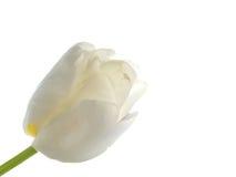 Tulipán blanco Foto de archivo libre de regalías