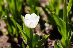 Tulipán blanco Fotografía de archivo libre de regalías