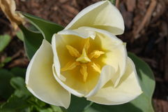 Tulipán blanco Imagen de archivo libre de regalías