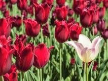 Tulipán blanco contra tulipanes rojos foto de archivo