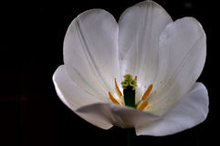 Tulipán blanco del cáliz Imagen de archivo libre de regalías