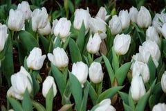 Tulipán blanco en el jardín Foto de archivo libre de regalías