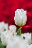 Tulipán blanco en rojo Imagen de archivo