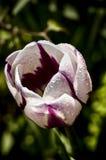 Tulipán blanco y púrpura Fotos de archivo