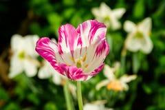 Tulipán blanco y rosado hermoso en el jardín Fotos de archivo