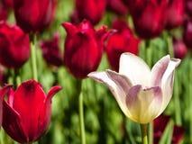 Tulipán blanco y tulipanes rojos fotos de archivo libres de regalías