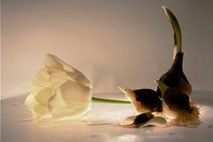 Tulipán, bulbos del tulipán en una tabla de cristal Imagenes de archivo