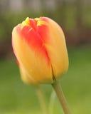 Tulipán cerrado amarillo y rojo en jardín Fotos de archivo