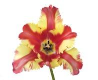 Tulipán coloreado multi del loro, primavera Fotografía de archivo