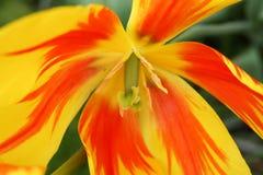 Tulipán colorido Fotos de archivo libres de regalías