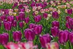 Tulipán colorido hermoso Foto de archivo libre de regalías