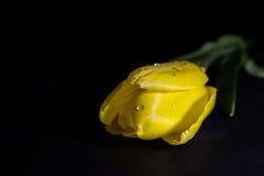 Tulipán con descensos del agua Imagen de archivo