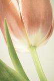 Tulipán con el filtro silenciado de la foto de color Fotografía de archivo libre de regalías
