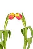 Tulipán con gotas del agua Imagen de archivo