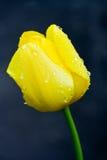 Tulipán con gotas del agua Fotos de archivo