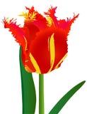 Tulipán con la franja Imagenes de archivo