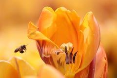 Tulipán con una abeja Imagenes de archivo