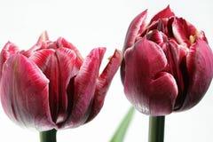Tulipán contra el fondo blanco Fotografía de archivo