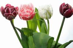 Tulipán contra el fondo blanco Fotos de archivo libres de regalías
