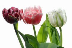 Tulipán contra el fondo blanco Imagen de archivo libre de regalías