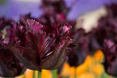 Tulipán de Borgoña, jardines botánicos de Balchik, Bulgaria Foto de archivo