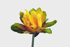 Tulipán de color verde amarillo fantástico aislado Imagen de archivo