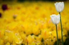 Tulipán de dos blancos en un fondo amarillo Imagen de archivo