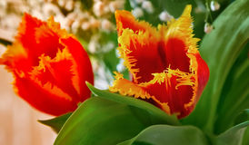 Tulipán de dos rojos con el ribete amarillo en las flores Fotografía de archivo libre de regalías