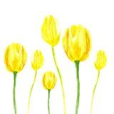 Tulipán de la acuarela Imagenes de archivo