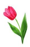 Tulipán de la acuarela Fotografía de archivo