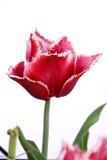 Tulipán de la canasta Fotografía de archivo libre de regalías