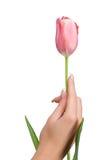 Tulipán de la explotación agrícola de la mano foto de archivo libre de regalías