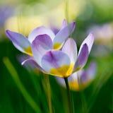 Tulipán de la fineza Foto de archivo