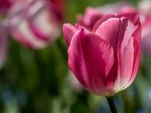 Tulipán de la fineza Imagenes de archivo