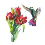 Tulipán de la flor del Wildflower y pájaro del colibri en un estilo de la acuarela aislado Fotografía de archivo libre de regalías