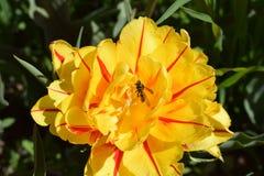 Tulipán de la peonía Fotos de archivo